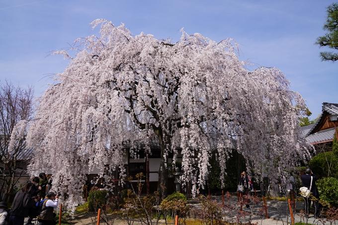 京都_桜_2020_13 本満寺 No4