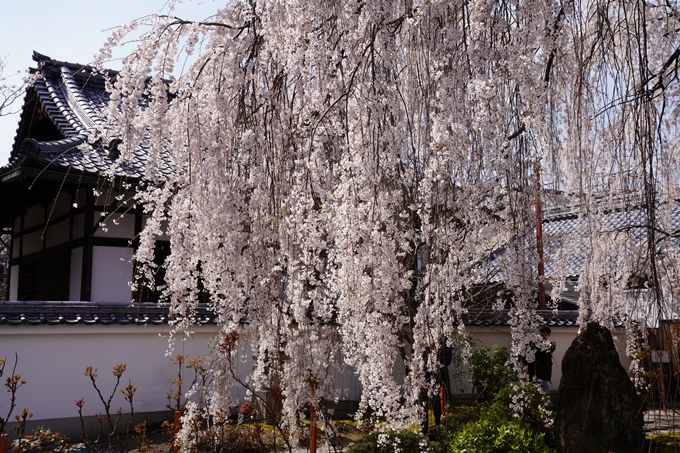 京都_桜_2020_13 本満寺 No9