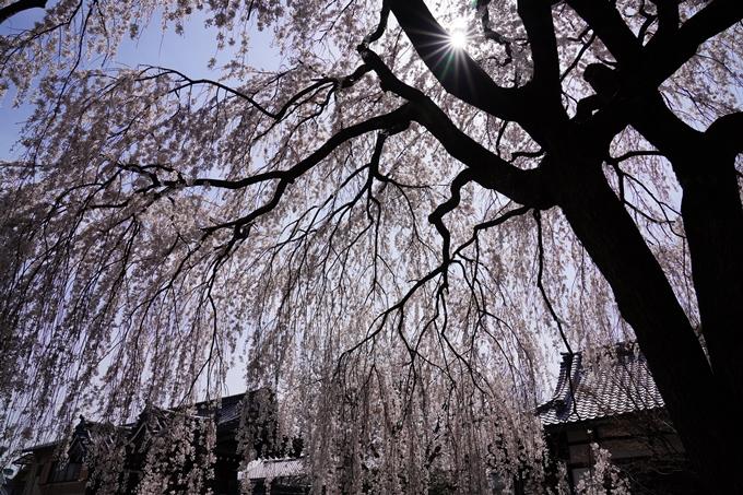 京都_桜_2020_13 本満寺 No11