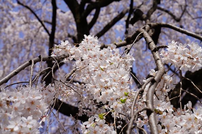 京都_桜_2020_13 本満寺 No13
