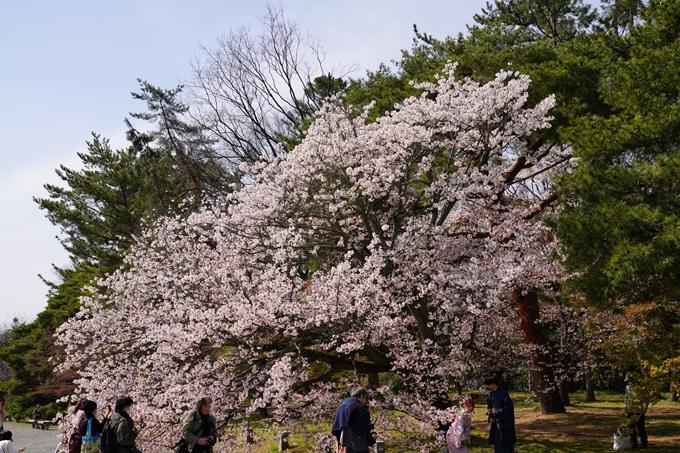 京都_桜_2020_14 御所 No2