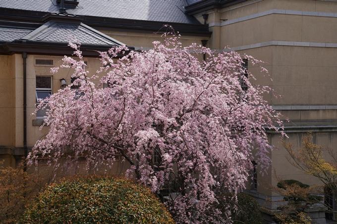 京都_桜_2020_15 京都府庁 No9