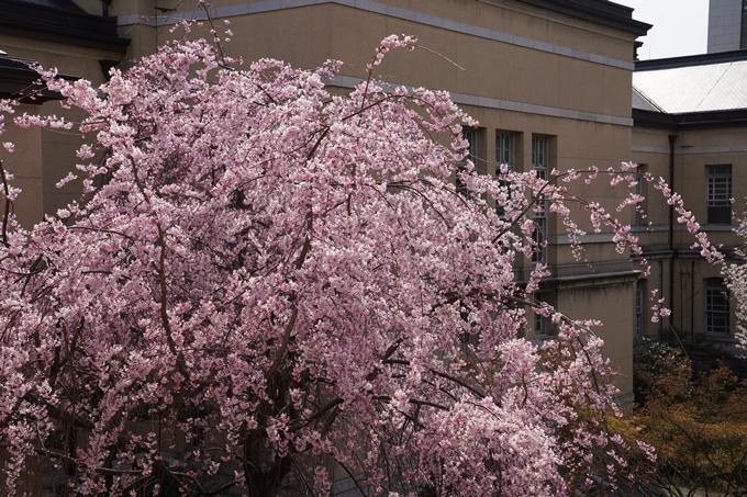 京都_桜_2020_15 京都府庁 No11