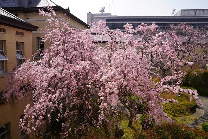 京都_桜_2020_15 京都府庁 No14