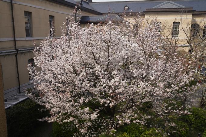 京都_桜_2020_15 京都府庁 No16