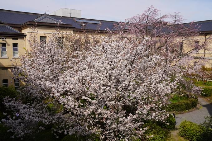 京都_桜_2020_15 京都府庁 No17