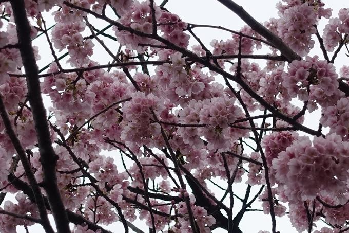 桜_2020_01 No4