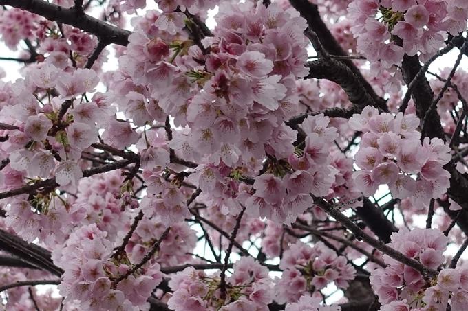 桜_2020_01 No5