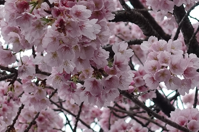 桜_2020_01 No6