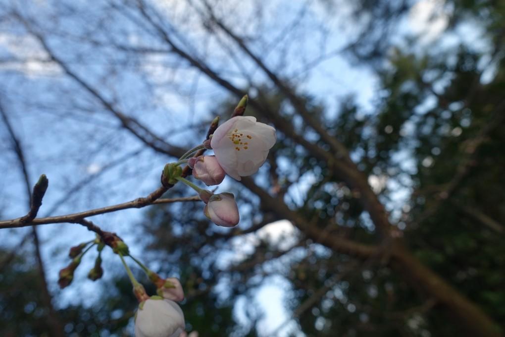 京都_桜_2020_09 No6