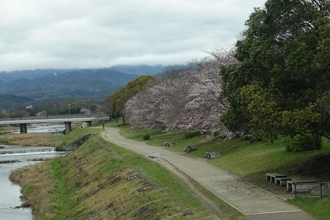 京都_桜_2020_10_鴨川 No5