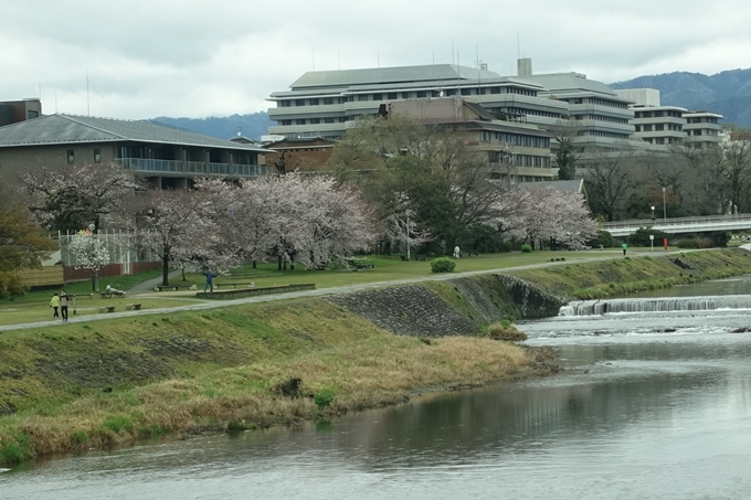 京都_桜_2020_10_鴨川 No7