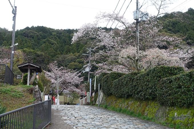 京都_桜_2020_12 哲学の道 No2