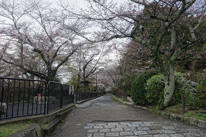 京都_桜_2020_12 哲学の道 No4
