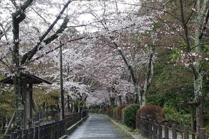 京都_桜_2020_12 哲学の道 No5