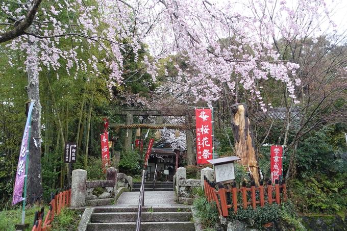 京都_桜_2020_11 桜花苑 No3