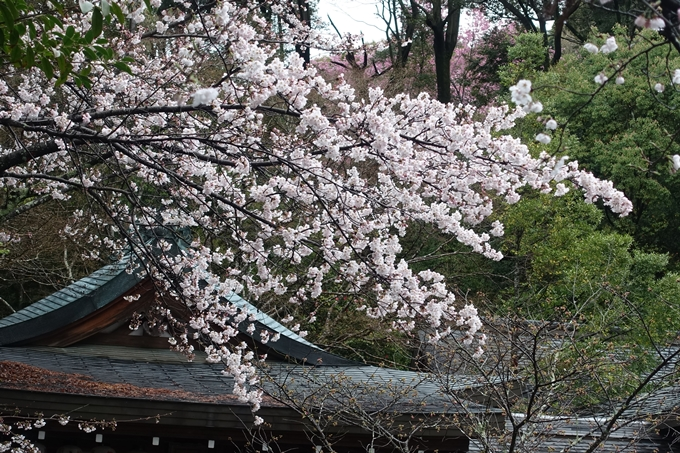 京都_桜_2020_11 桜花苑 No4