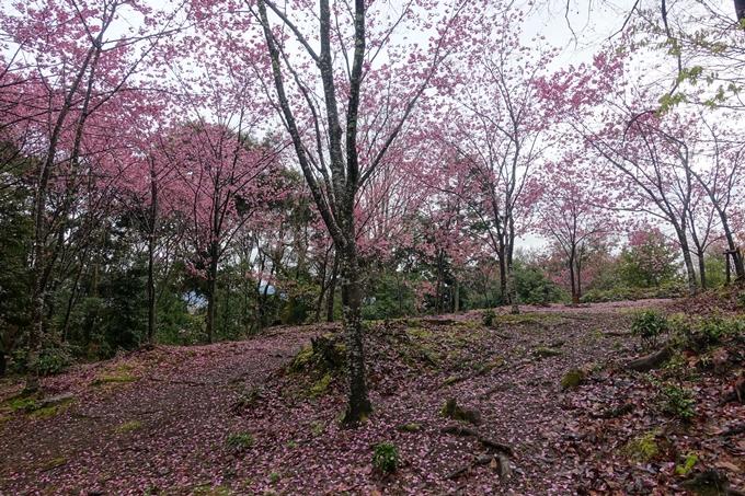 京都_桜_2020_11 桜花苑 No11
