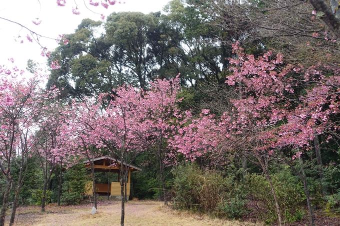京都_桜_2020_11 桜花苑 No14