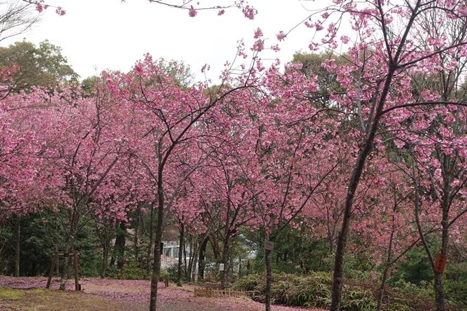 京都_桜_2020_11 桜花苑 No15