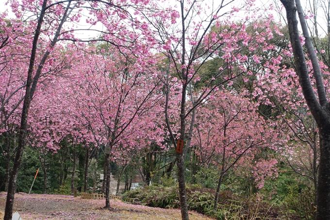 京都_桜_2020_11 桜花苑 No17