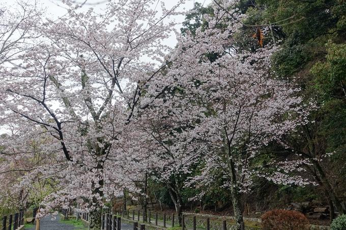 京都_桜_2020_12 哲学の道 No7