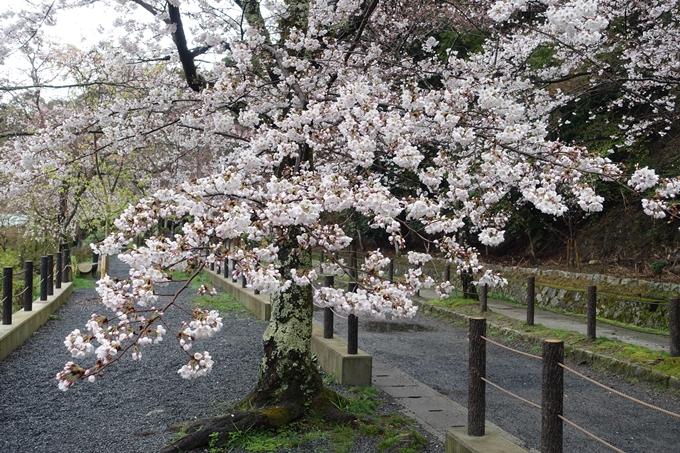 京都_桜_2020_12 哲学の道 No8