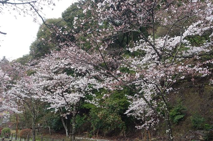 京都_桜_2020_12 哲学の道 No9