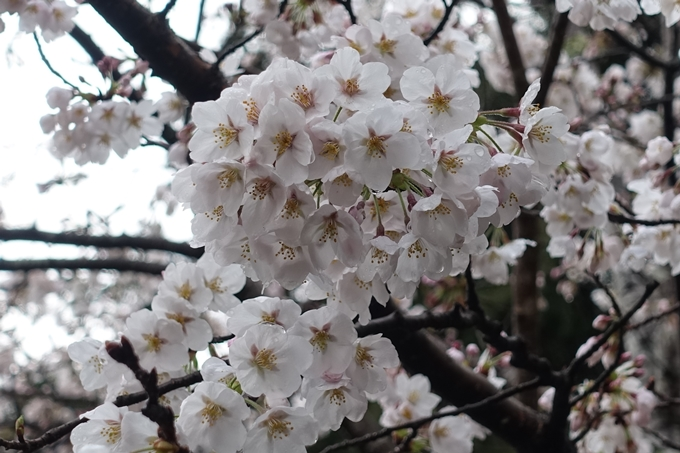 京都_桜_2020_12 哲学の道 No10