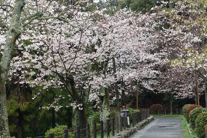 京都_桜_2020_12 哲学の道 No12