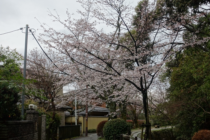 京都_桜_2020_12 哲学の道 No13