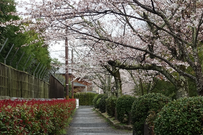 京都_桜_2020_12 哲学の道 No14