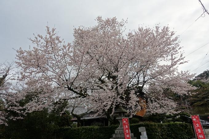 京都_桜_2020_12 哲学の道 No15