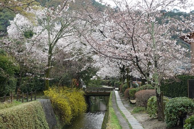 京都_桜_2020_12 哲学の道 No17