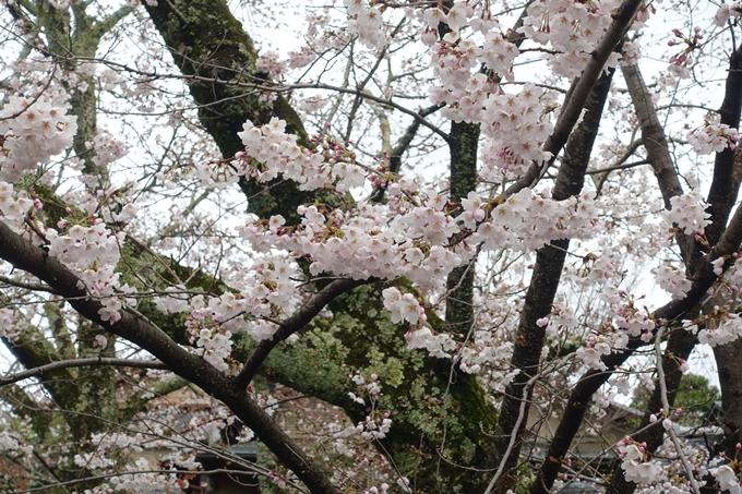 京都_桜_2020_12 哲学の道 No18