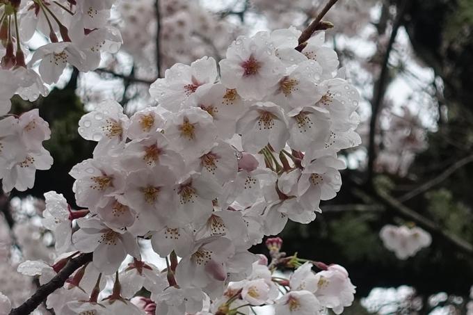 京都_桜_2020_12 哲学の道 No19