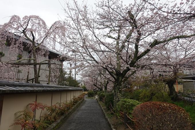 京都_桜_2020_12 哲学の道 No20