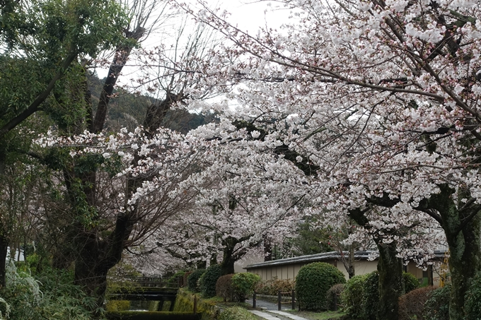 京都_桜_2020_12 哲学の道 No23