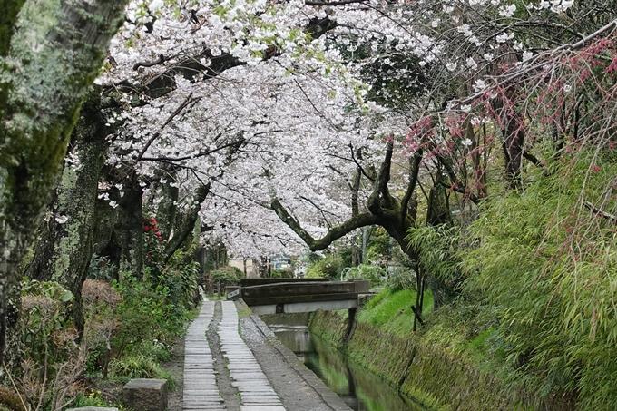 京都_桜_2020_12 哲学の道 No24