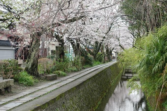 京都_桜_2020_12 哲学の道 No25