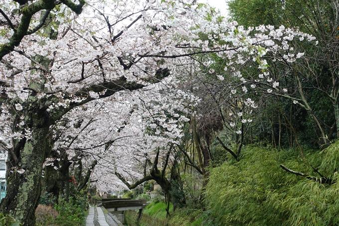 京都_桜_2020_12 哲学の道 No26