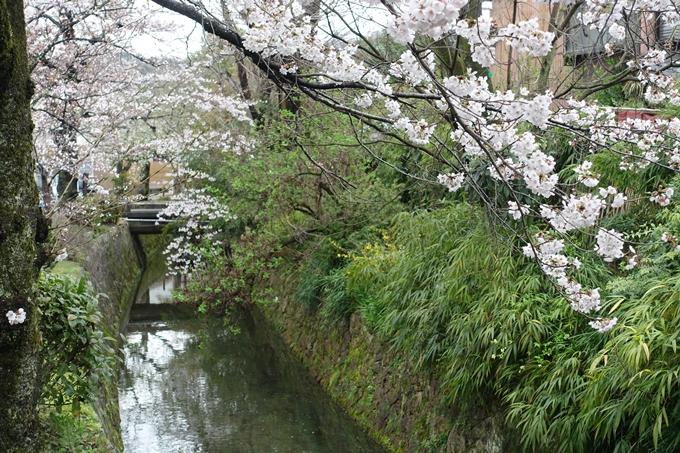 京都_桜_2020_12 哲学の道 No27