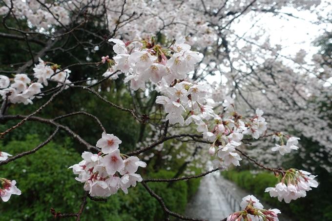 京都_桜_2020_21 宗忠神社 No9