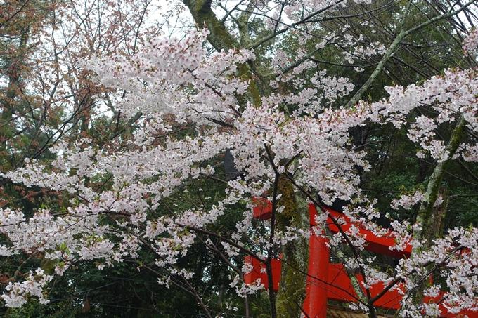 京都_桜_2020_21 宗忠神社 No14