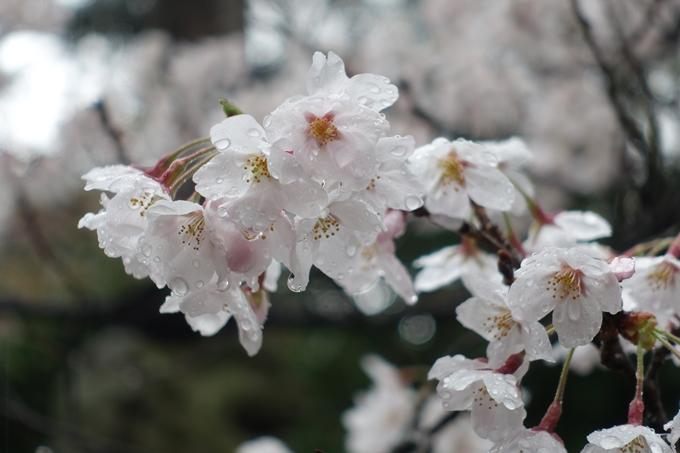 京都_桜_2020_21 宗忠神社 No18