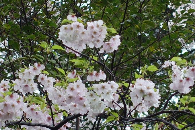 京都_桜_2020_21 宗忠神社 No21