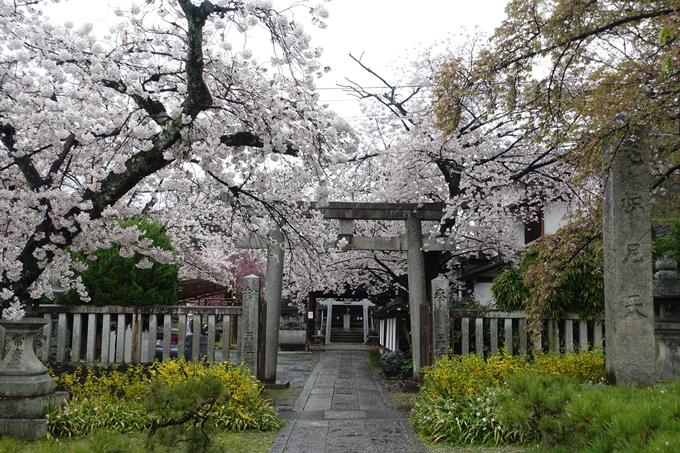 京都_桜_2020_23 吒枳尼天 No2