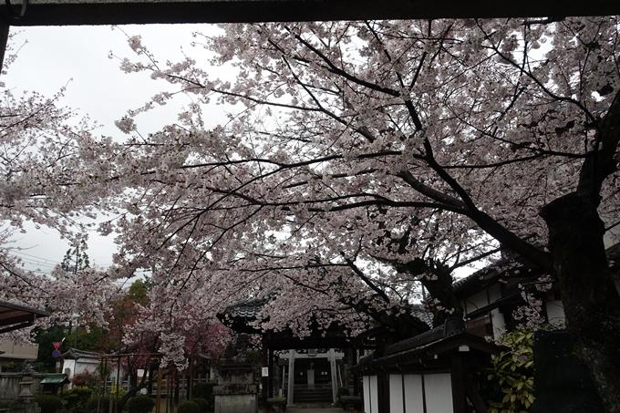 京都_桜_2020_23 吒枳尼天 No3
