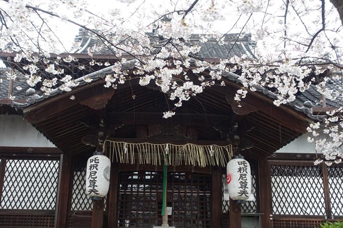 京都_桜_2020_23 吒枳尼天 No7