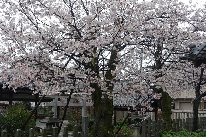京都_桜_2020_23 吒枳尼天 No8